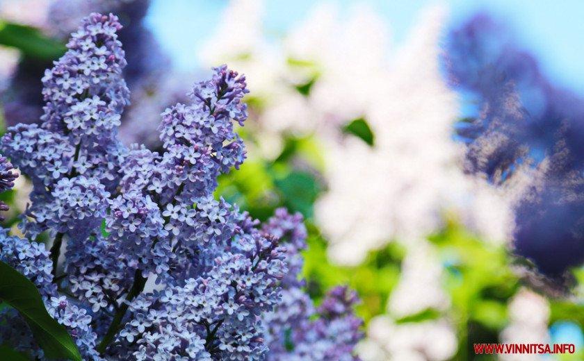 У Вінницькому ботанічному саду зацвів бузок, фото-2