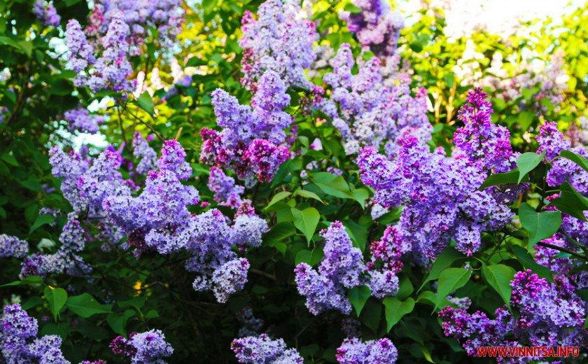 У Вінницькому ботанічному саду зацвів бузок, фото-4