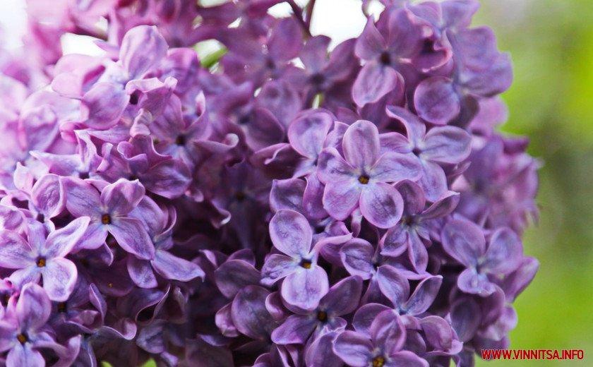 У Вінницькому ботанічному саду зацвів бузок, фото-1