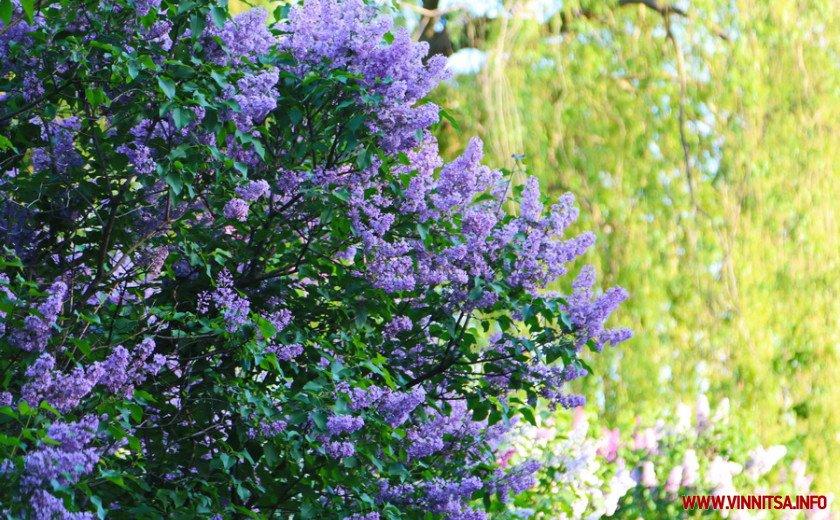У Вінницькому ботанічному саду зацвів бузок, фото-3